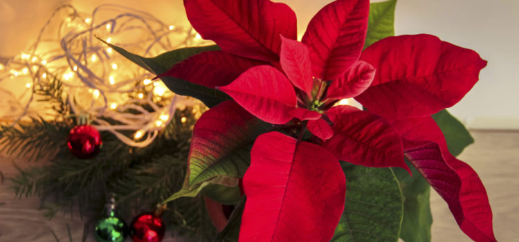 Get your Christmas poinsettias at Richmond FUMC by Nov. 18